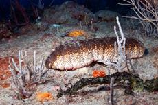 Donkey Dung Sea Cucumber