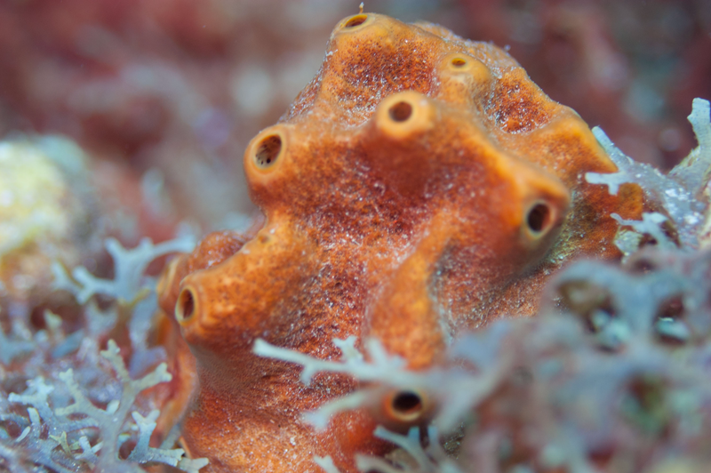 Brown encrusting octopus sponge