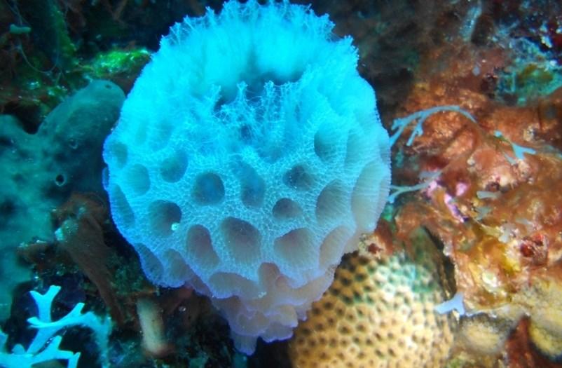 Azure Vase Sponge Anemoon Soorten