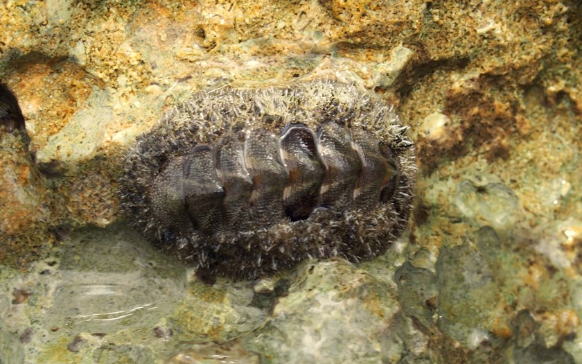 fuzzy chiton, acanthopleura granulata