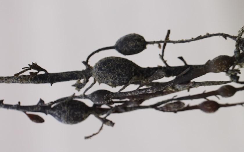 Knotswier, Ascophyllum nodosum (foto: Chantal Garttener)