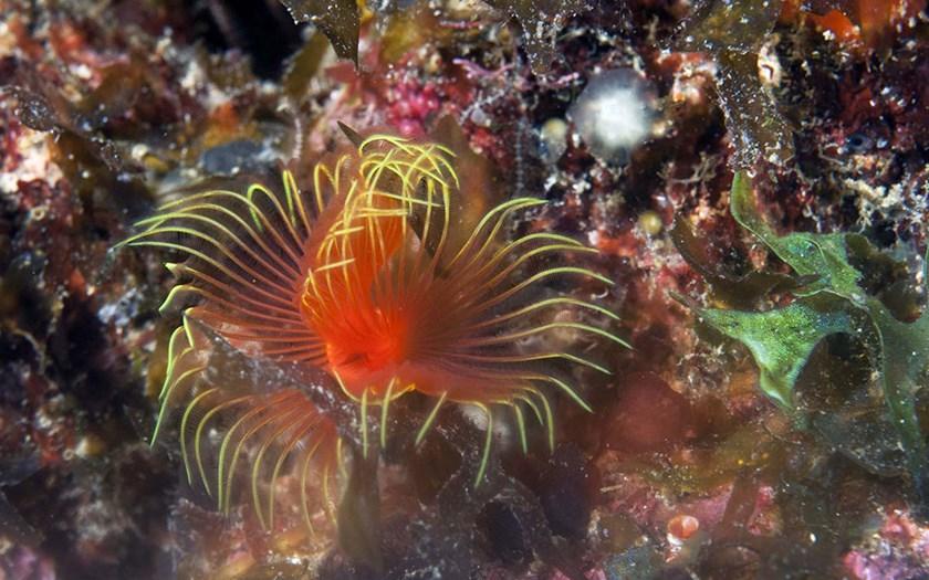Star Horseshoe Worm (foto: Marion Haarsma)