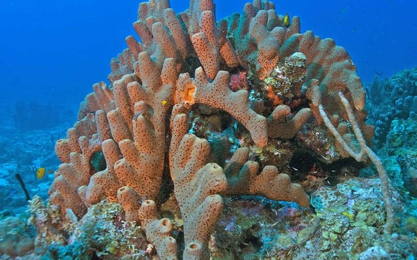 Brown Tube Sponge (foto: Marion Haarsma)