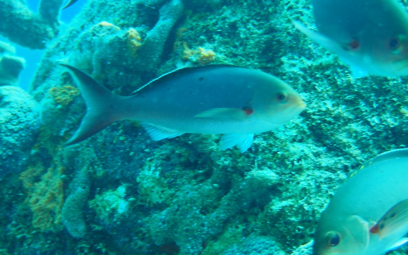Atlantic creolefish, Paranthias furcifer