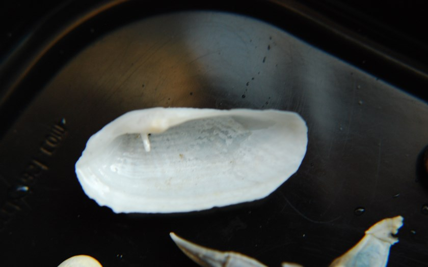 Amerikaanse boormossel, Petricolaria pholadiformes (bron: Rien Pronk)