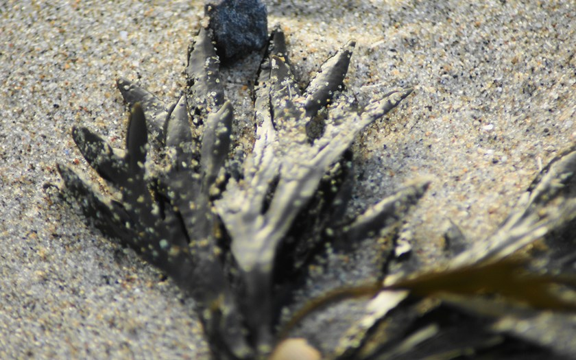 Kleine zee-eik, Fucus spiralis (bron: Rien Pronk)