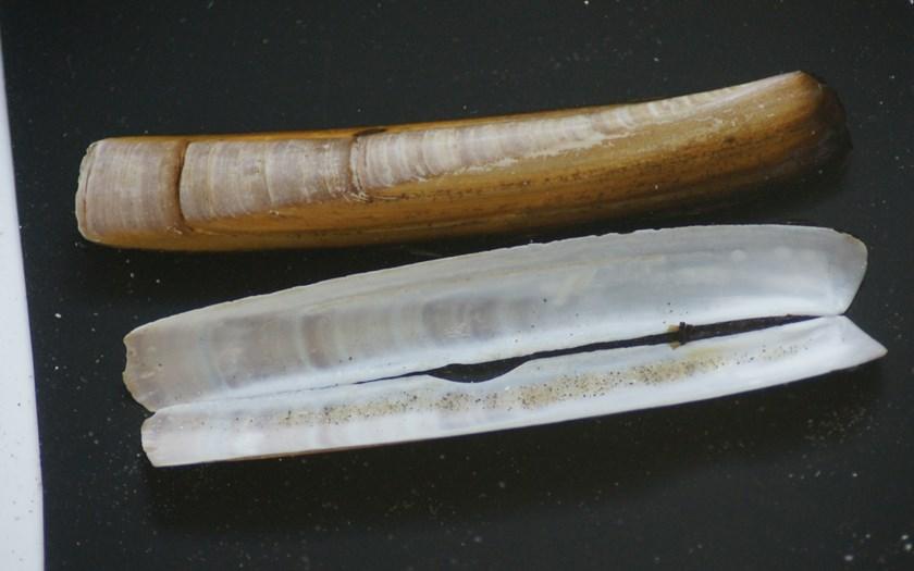Amerikaanse zwaardschede, Ensis directus (bron: Rien Pronk)