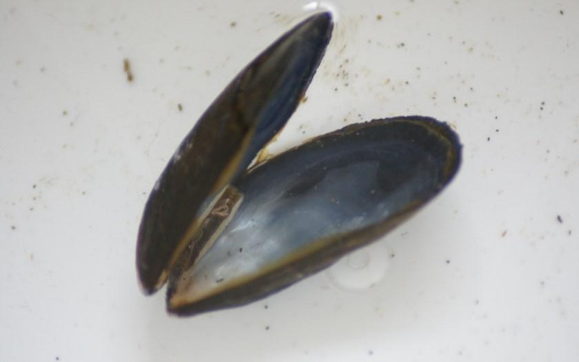 Mossel, Mytilus edulis (bron: Rien Pronk)