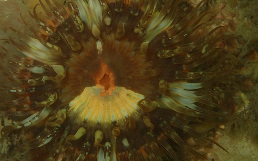 Sierlijke slibanemoon, Sagartia elegans (bron: Valentin Engelbos)